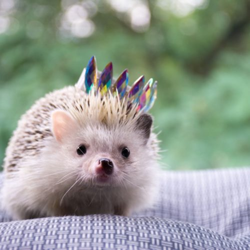 HedgehogLEAD