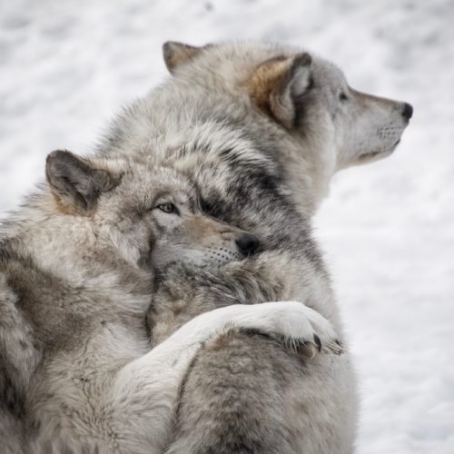 Trope Rec Tuesday 3 Wolves Searching for Their One True Love